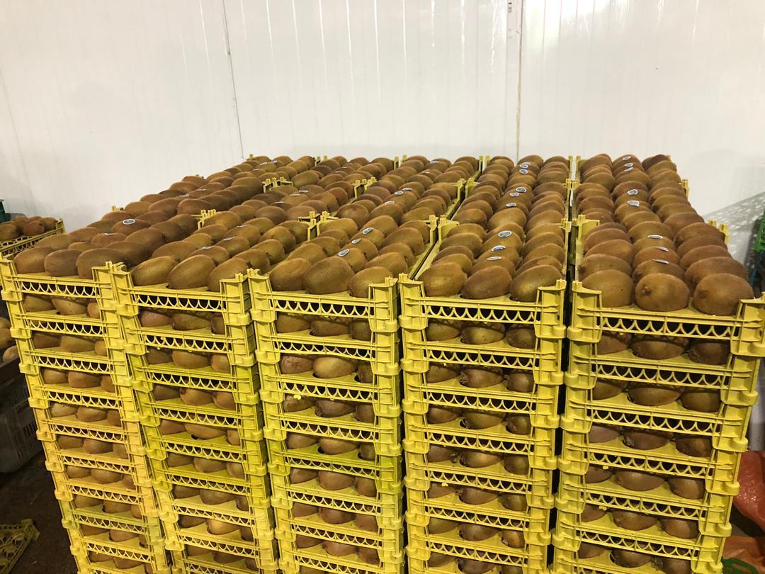 کیوی | سردخانه میوه عجم (2,3)- کیوی ایران
